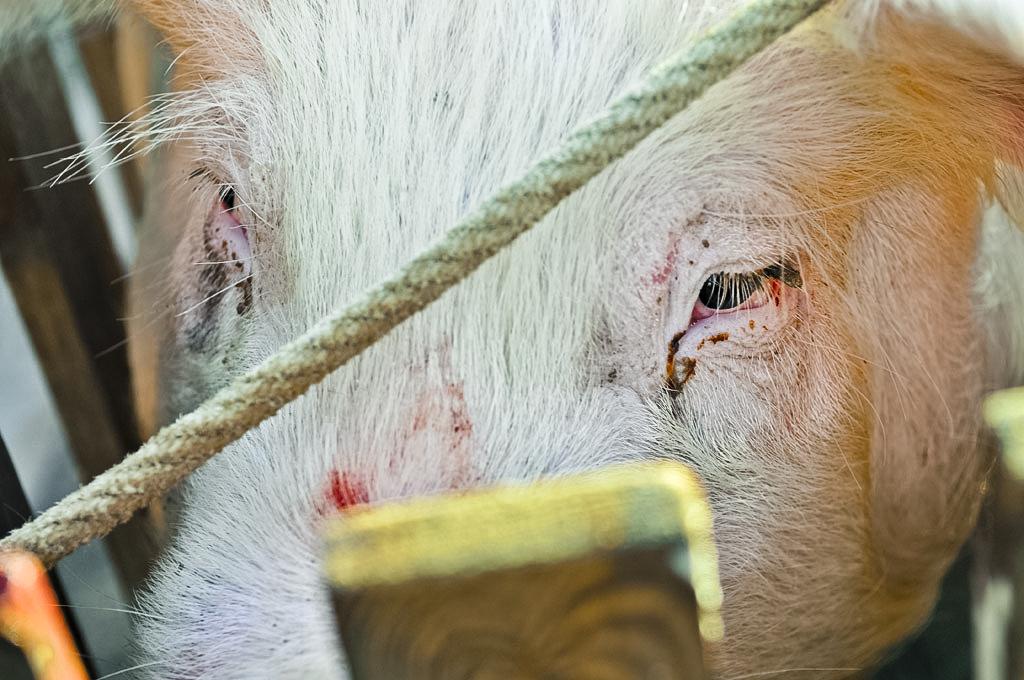 Tuade de cochon